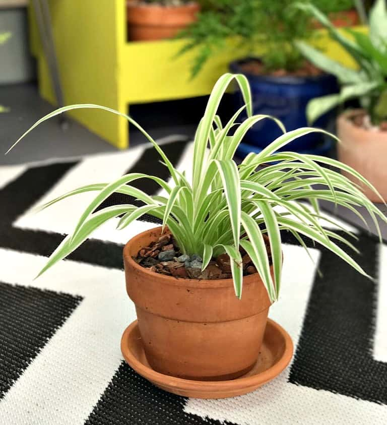 Chlorophytum; Spider Plant. Discover Your Wild with indoor plants and Lifestyle