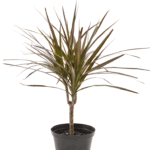 Dracaena marginata 'Madagascar Dragon Tree' bathroom indoor plants for your living bathroom
