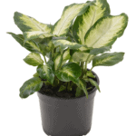 Diffenbachia 'Dumb Cane' bathroom indoor plants for your living bathroom