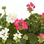 indigenous plants for your summer garden from Lifestyle Home Garden nursery and plant shop
