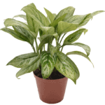 Aglaonema 'Chinese Evergreen' your living bathroom bathroom indoor plants