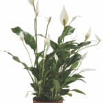 Spathiphyllum wallisii 'Peace Lily'