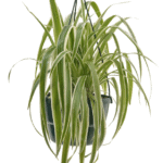 Chlorophytum comosum 'Spider Plant' bathroom indoor plants for your living bathroom