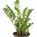 Zamioculcas zamiifolia 'ZZ Plant' bathroom indoor plants for your living bathroom