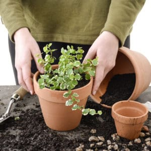Potting indoor plants