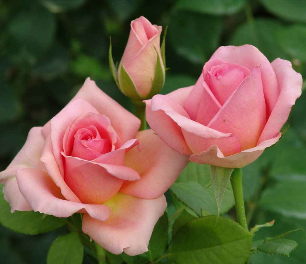 Rose Pruning. Lifestyle Home Garden - nursery and plant shop Johannesburg