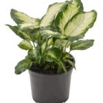 Diffenbachia 'Dumb Cane' bathroom indoor plants for your living bathroom