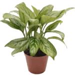 Aglaonema 'Chinese Evergreen' your living bathroom bathroom indoor plants