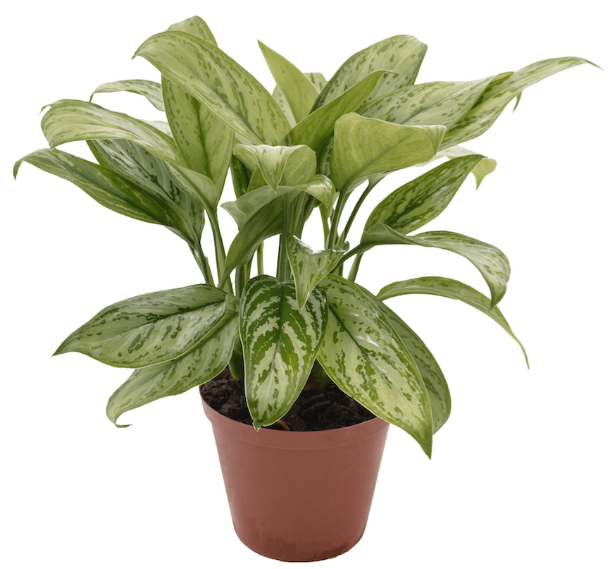 Aglaonema Chinese Evergreen Your Living Bathroom Indoor Plants