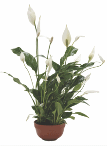 indoor plants benefits bring life indoors lifestyle home garden nursery plant shop johannesburg gauteng trends trending peace lily spathiphyllum