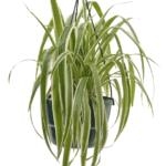 Chlorophytum comosum 'Spider Plant' bathroom indoor plants for your living bathroom