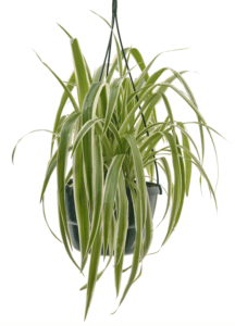 indoor plants benefits bring life indoors lifestyle home garden nursery plant shop johannesburg gauteng trends trending spider plant
