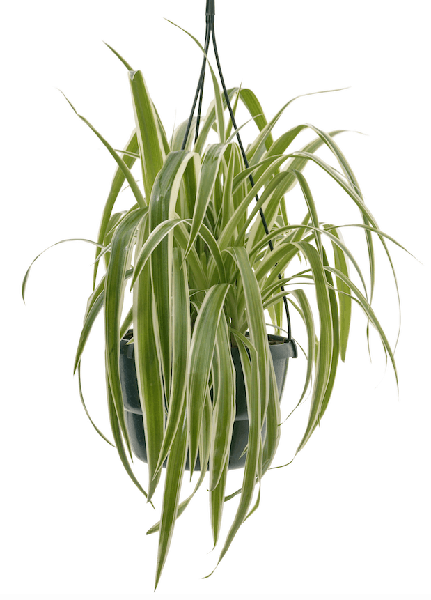 Chlorophytum Comosum Spider Plant Bathroom Indoor Plants For Your Living