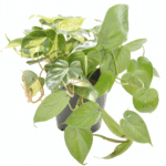 Philodendron scandens 'Sweetheart Creeper' bathroom indoor plants for your living bathroom