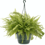 Nephrolepsis 'Sword Fern' bathroom indoor plants for your living bathroom
