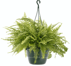 indoor plants benefits bring life indoors lifestyle home garden nursery plant shop johannesburg gauteng trends trending fern ferns