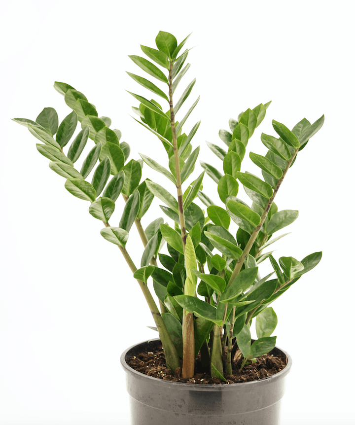 Zamioculcas Zamiifolia ZZ Plant Indoor Plants For Bathrooms Your Living Bathroom Nursery And