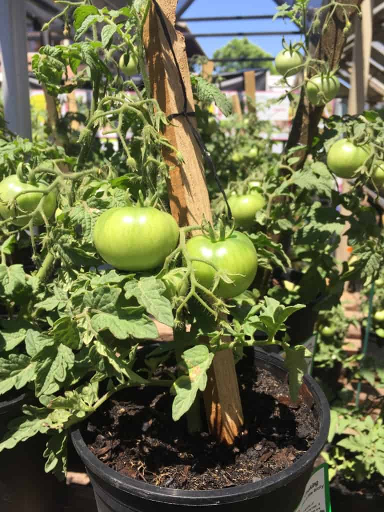 Home Grown Tomatoes Lifestyle Home Garden Nursery and Plant Shop Johannesburg