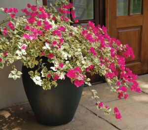Bougainvilleas Cascades Of Colour For Your Garden