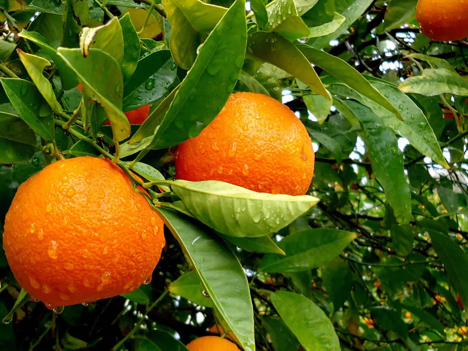 orange winter fruit lifestyle home garden citrus tree lifestyle home garden nursery plant shop johannesburg gauteng