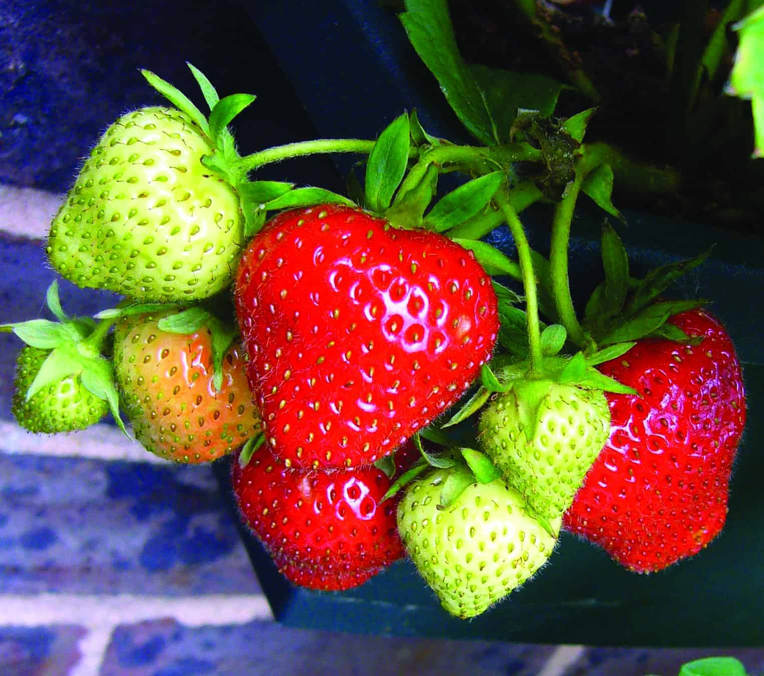 growing strawberries lifestyle home garden nursery and plant shop