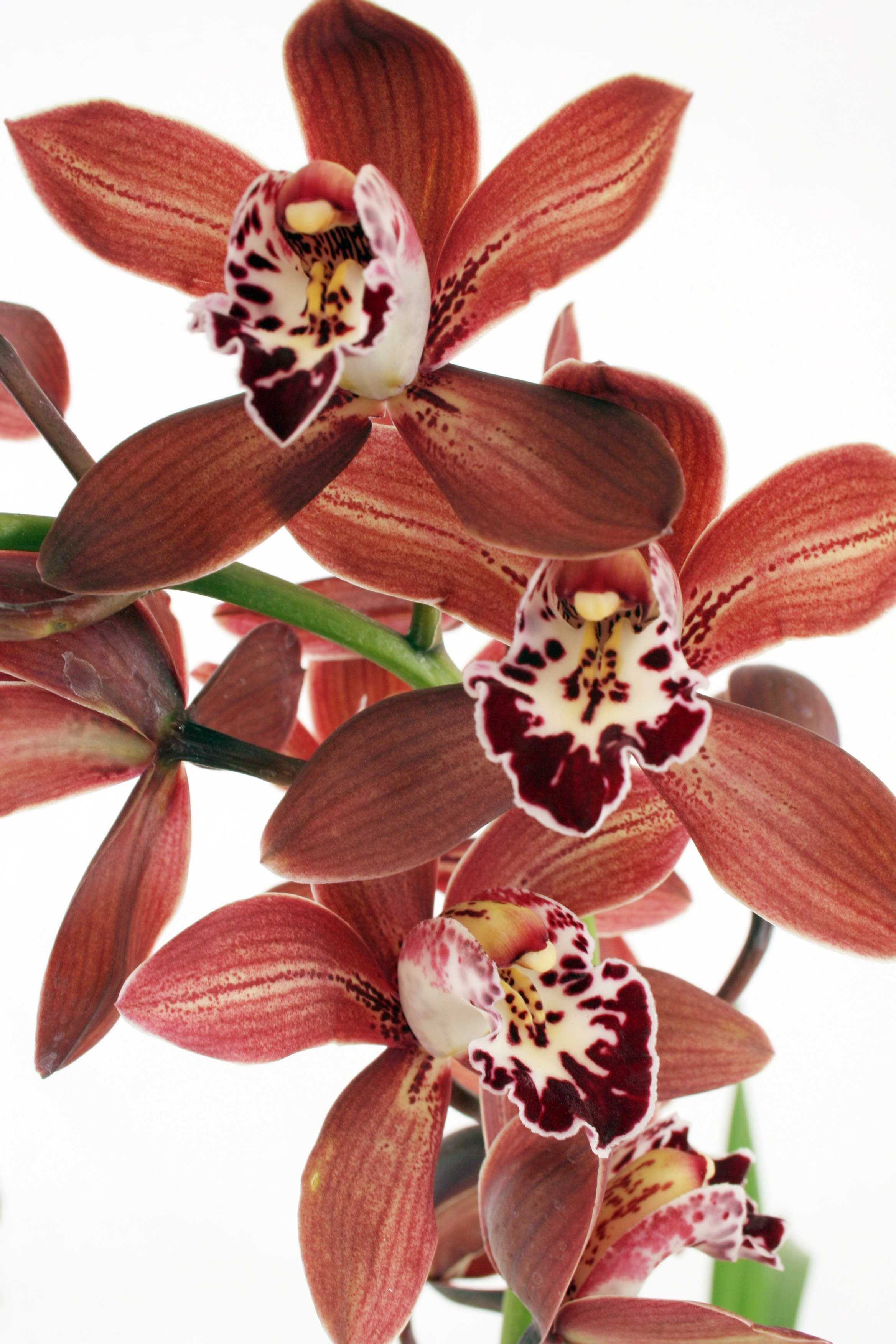 cymbidium Long Lasting House Plants on portable house plants, cool looking house plants, colorful house plants, non-toxic house plants, inexpensive house plants, hypoallergenic house plants, compact house plants, refreshing house plants, night blooming house plants, rugged house plants, robust house plants, soothing house plants, elegant house plants, small house plants, organic house plants, lightweight house plants, weather proof house plants, fragrant house plants, strong house plants, easy to maintain house plants,