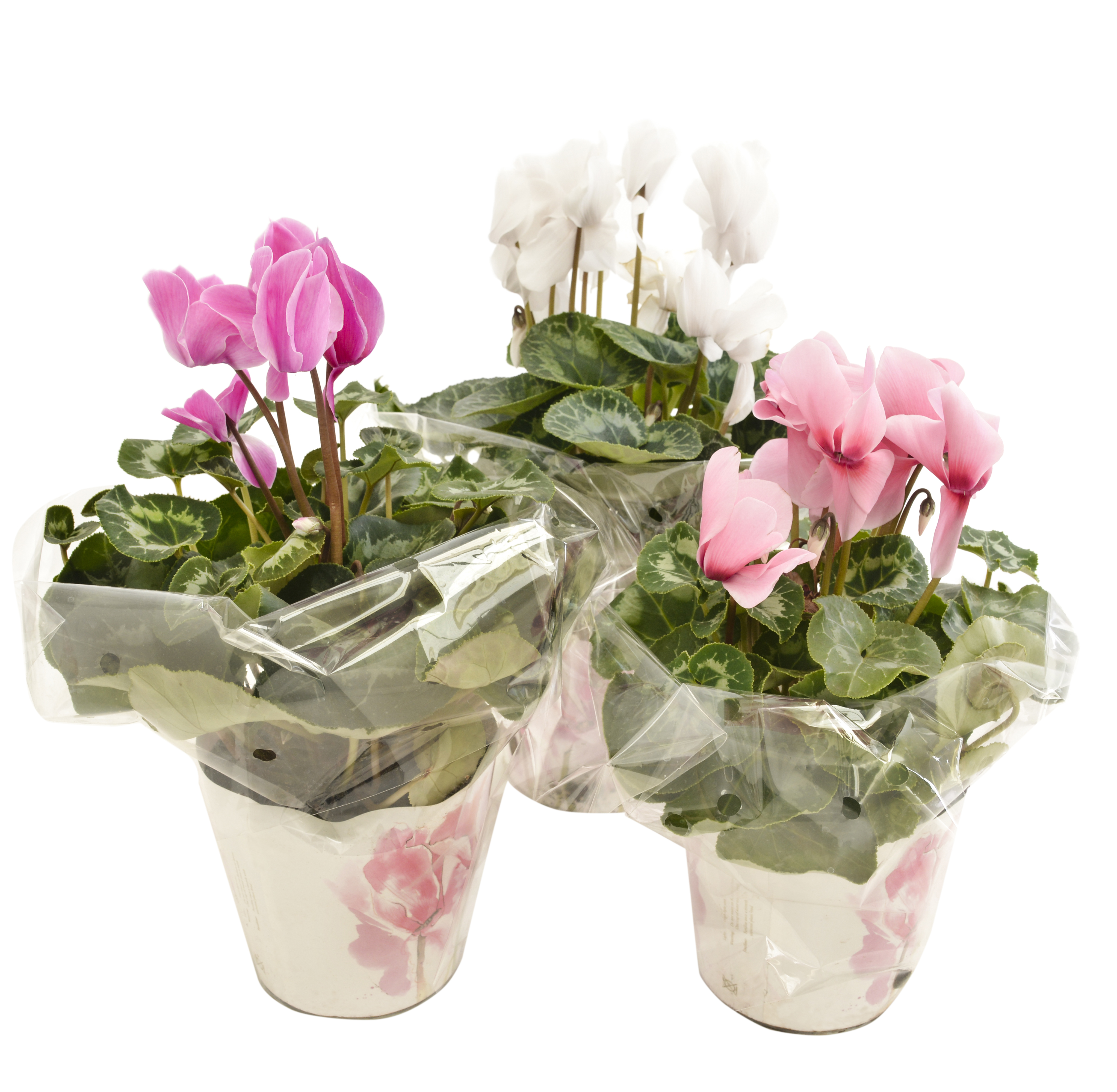 cyclamen lifestyle home garden nursery and plant shop johannesburg gauteng