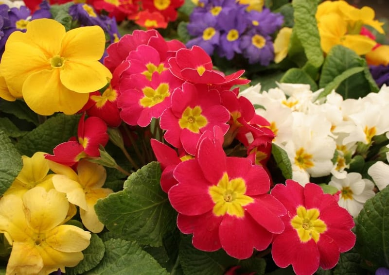 primula winter flowering seedlings flowers lifestyle home garden nursery plant shop johannesburg gauteng gardening