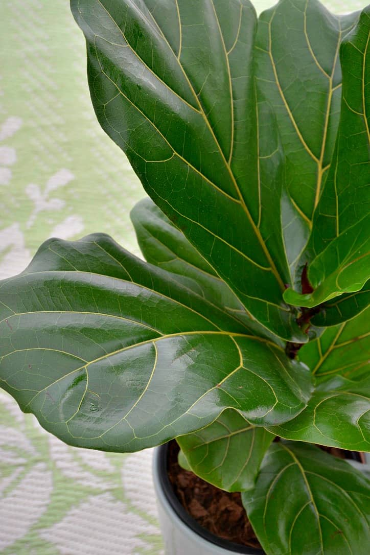 fiddle leaf fig lifestyle home garden nursery plant shop johannesburg gauteng