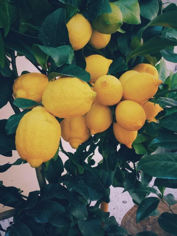 citrus lifestyle home garden nursery plant shop johannesburg gauteng