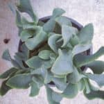 crassula blue waves succulent series blog johannesburg plant shop nursery gauteng