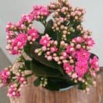 blossfeldiana kalanchoe nursery plantshop johannesburg gauteng