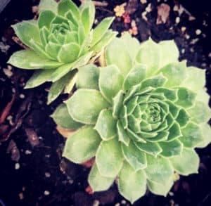 sempervivum succulent series blog johannesburg gauteng nursery plant shop