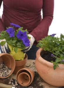 petunia garden winter pantone colour year 2018 nursery plant shop johannesburg gauteng