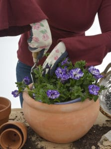nursery plant shop ultraviolet pantone colour year petunia lifestyle johannesburg gauteng winter garden