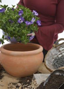 gardening petunia potted plant nursery plantshop lifestyle pot winter garden gauteng johannesburg