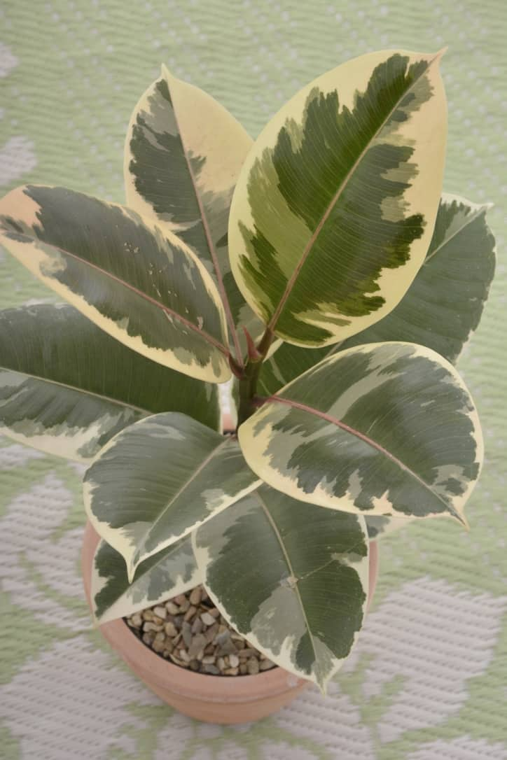 Lifestyle Home Garden Stocks The Following Varieties Of Ficus Elastica With Three Very Diffe Striking Foliage Variations
