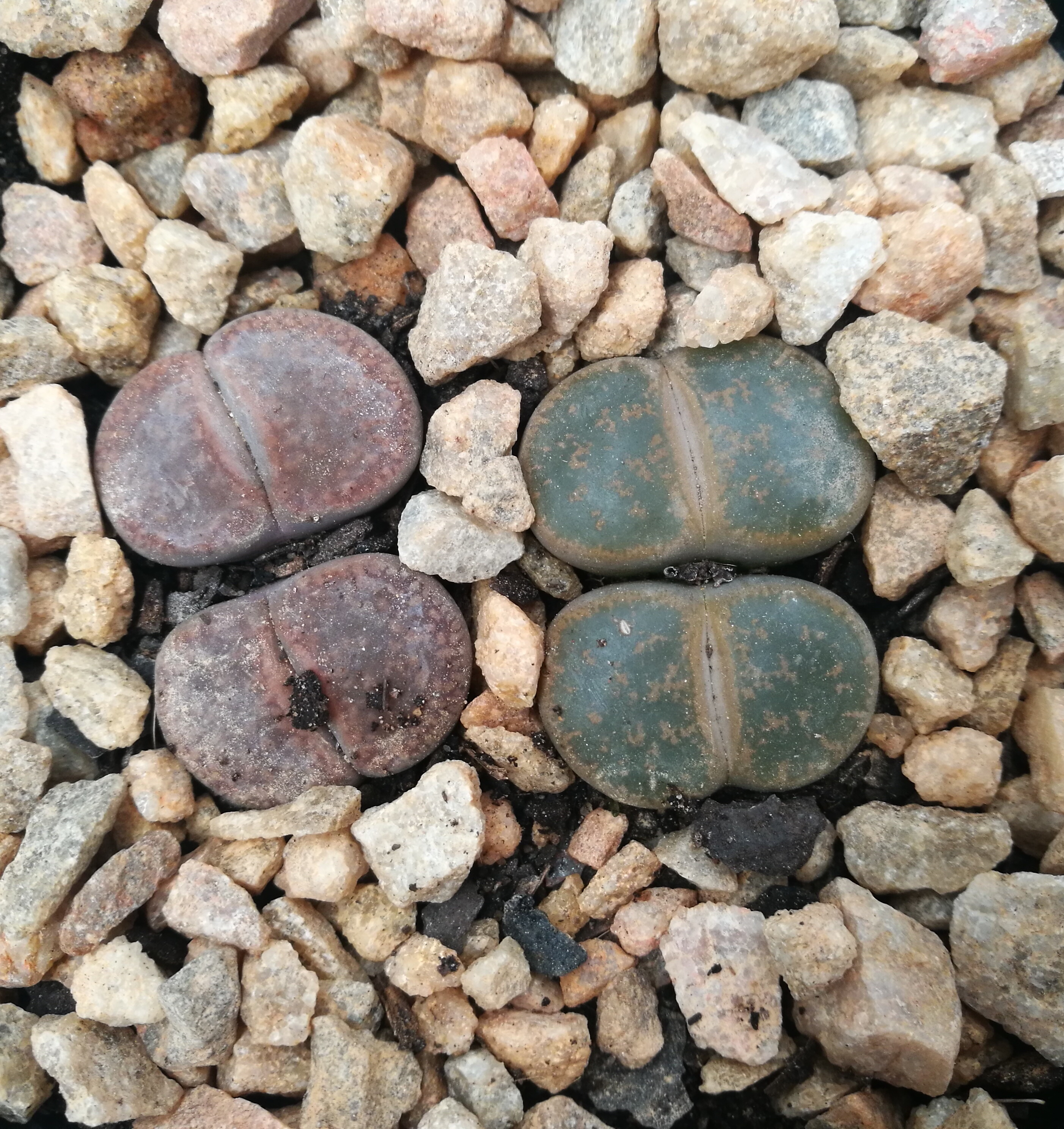 lithops succulent series lifestyle blog garden plant shop nursery gauteng johannesburg