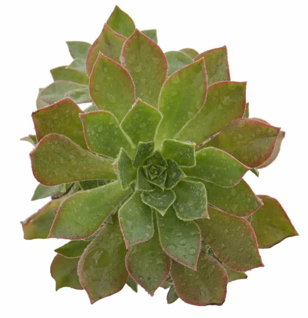 aeonium succulent series blog garden lifestyle nursery waterwise johannesburg gauteng