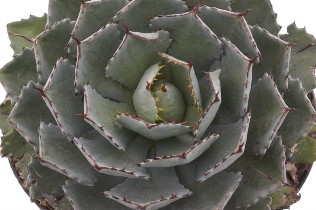 succulent series agave parryi blog lifestyle home garden nursery plant shop waterwise drought tolerant xeriscape gardening garden