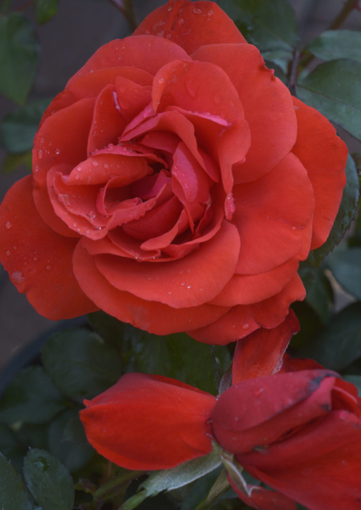 Lifestyle home garden rose pruning nursery plant shop johannesburg gauteng garden gardening