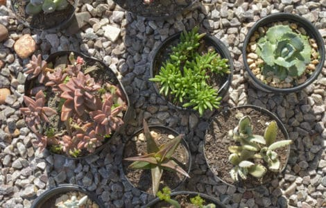 succulent series nursery plant shop blog lifestyle xeriscape waterwise full sun hardy