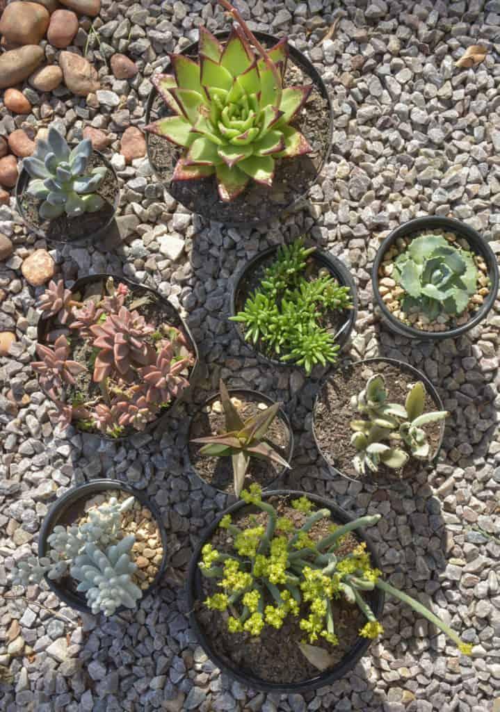 succulent series full sun lifestyle blog garden gardening nursery plant shop johannesburg gauteng xeriscape waterwise