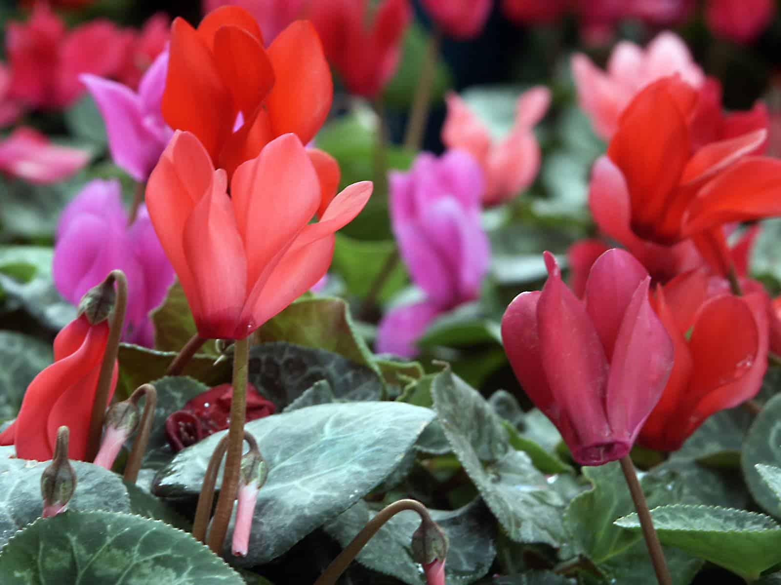 lifestyle home garden nursery plant shop johannesburg gauteng cyclamen indoor plants trending trend trendy