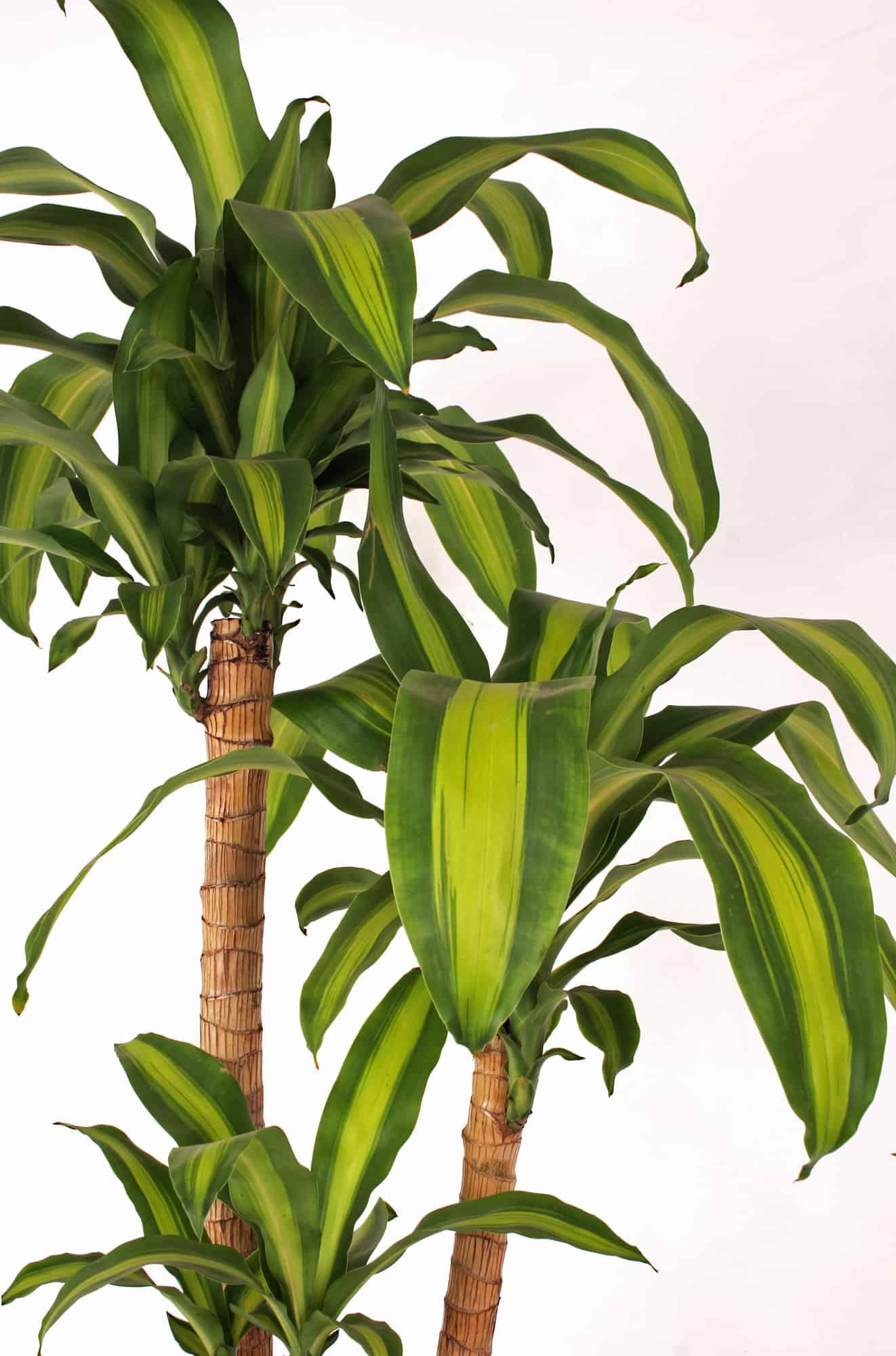 DRACAENA-FRAGRANS How Tall Marginata Houseplant on peace lily houseplant, janet craig houseplant, pothos houseplant, corn plant houseplant, english ivy houseplant,