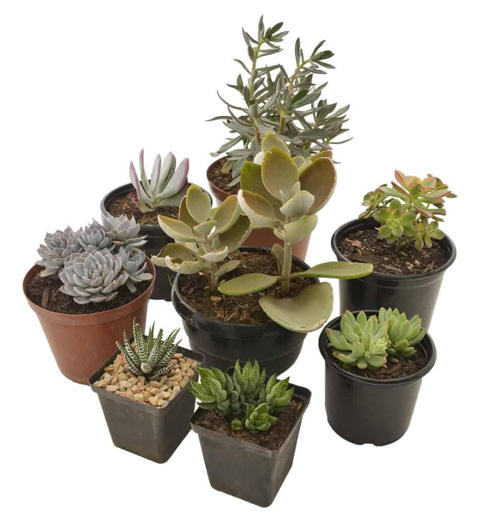 Succulent Series Succulents Full Shade Lifestyle Home Garden Nursery Plant Johannesburg Gauteng