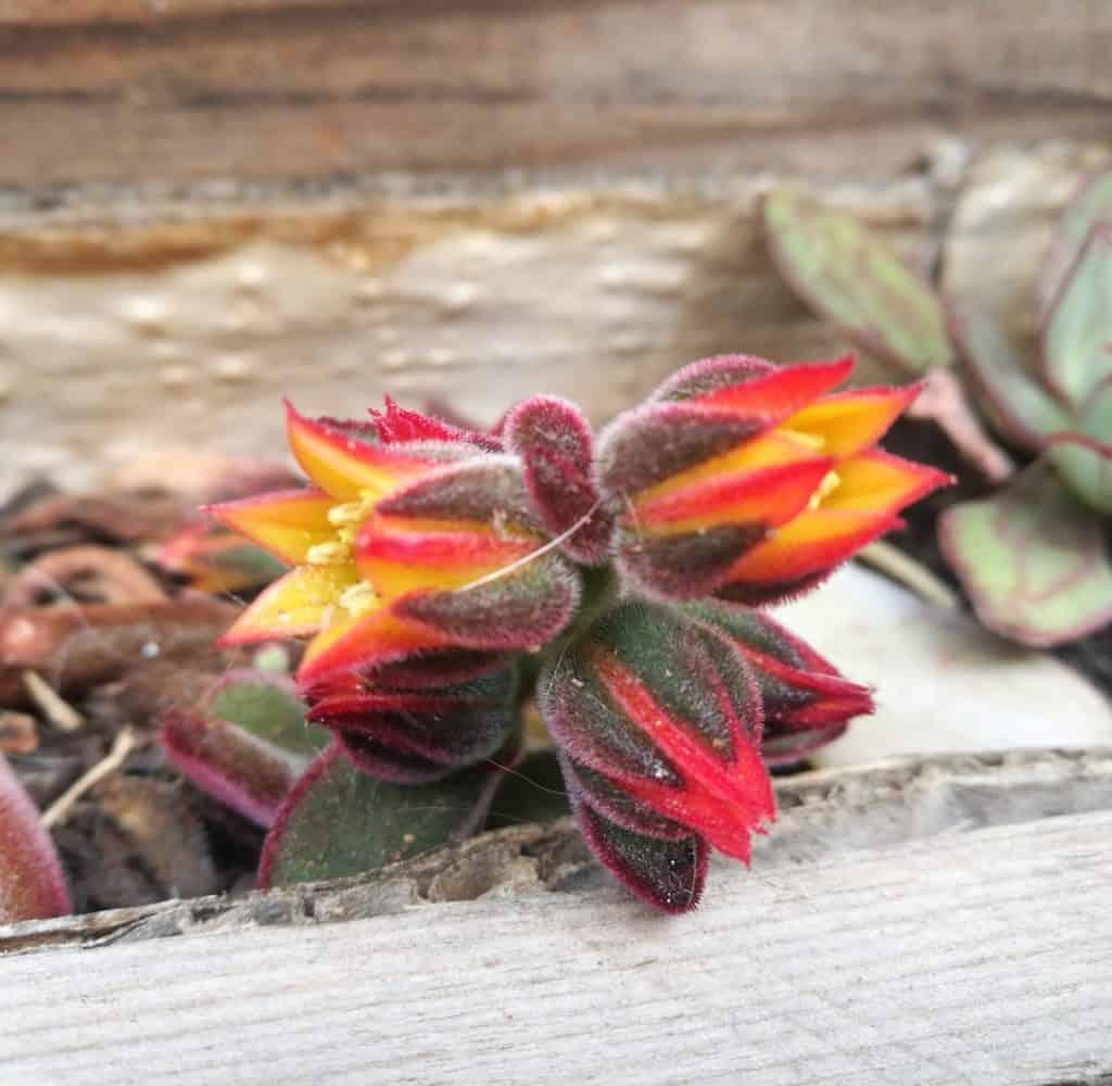 succulent series blog lifestyle home garden nursery plant shop johannesburg gauteng harmsii flowers