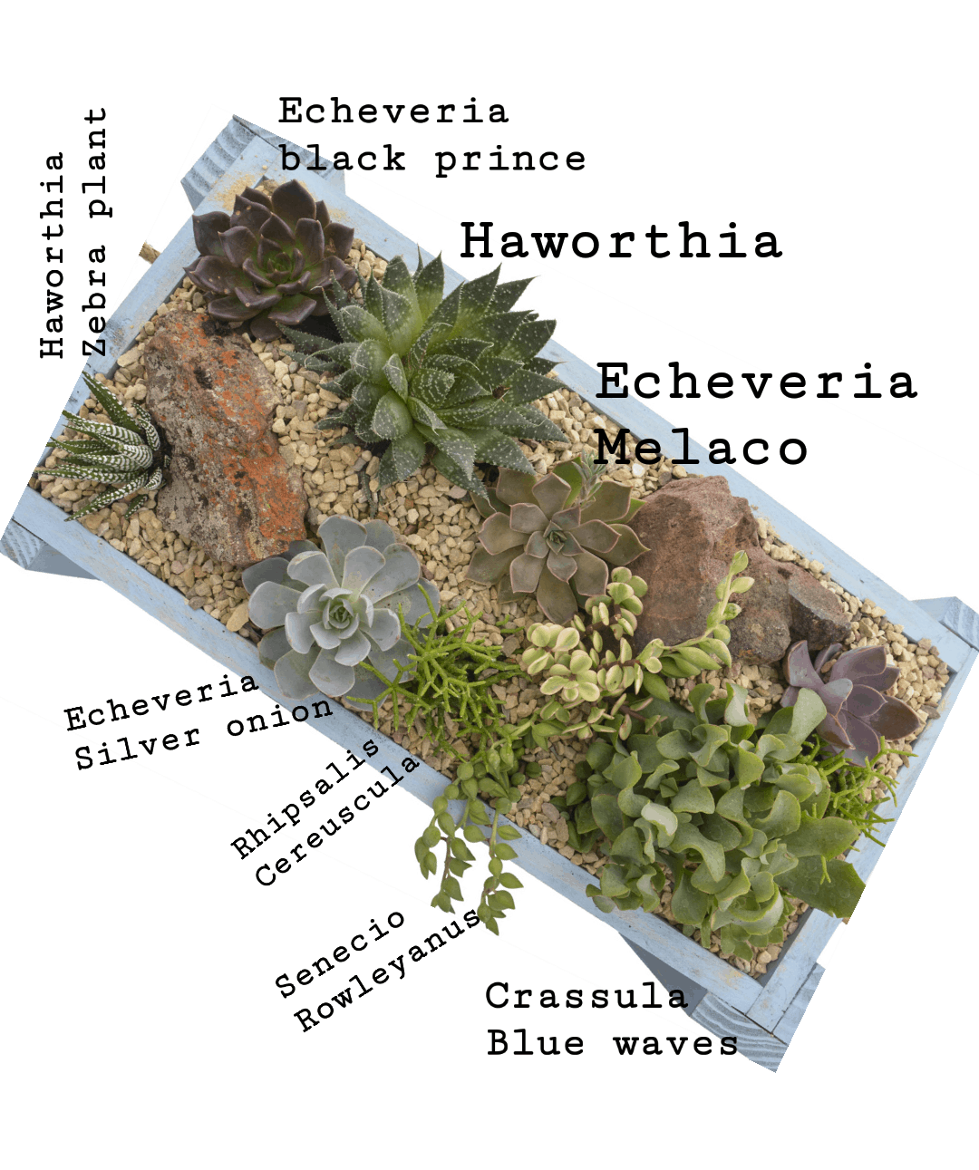 Succulents That Grow In Shade Mycoffeepot Org