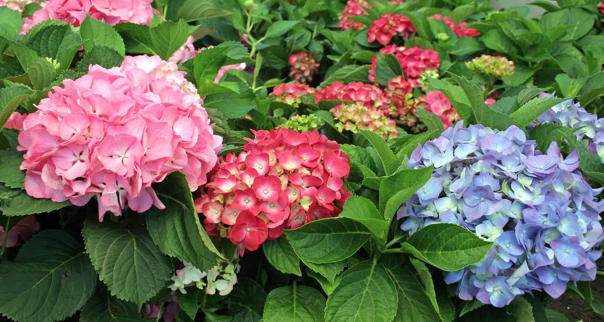 hydrangea christmas rose lifestyle home garden nursery plant shop johannesburg gauteng