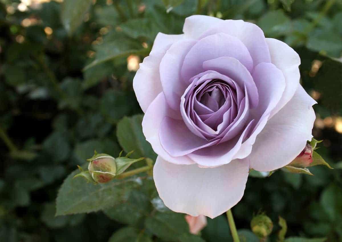 rose lifestyle home garden nursery plant shop johannesburg gauteng